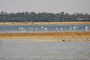 Flamingo_Fayoum_Egypt (3)