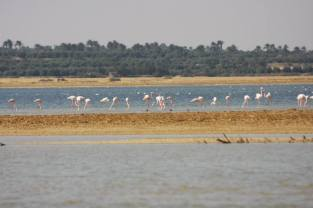 Flamingo_Fayoum_Egypt (3)