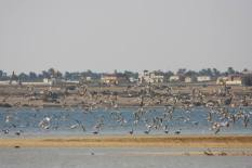 Flamingo_Fayoum_Egypt (31)