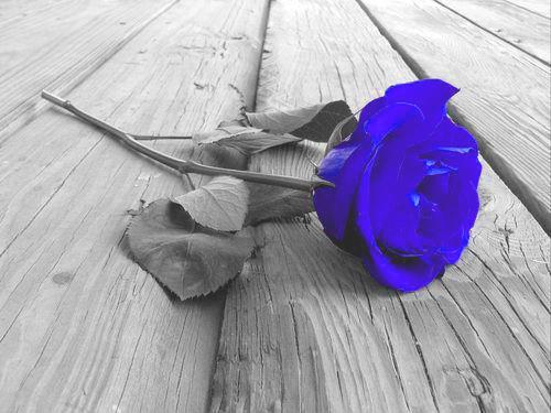 gambar mawar biru