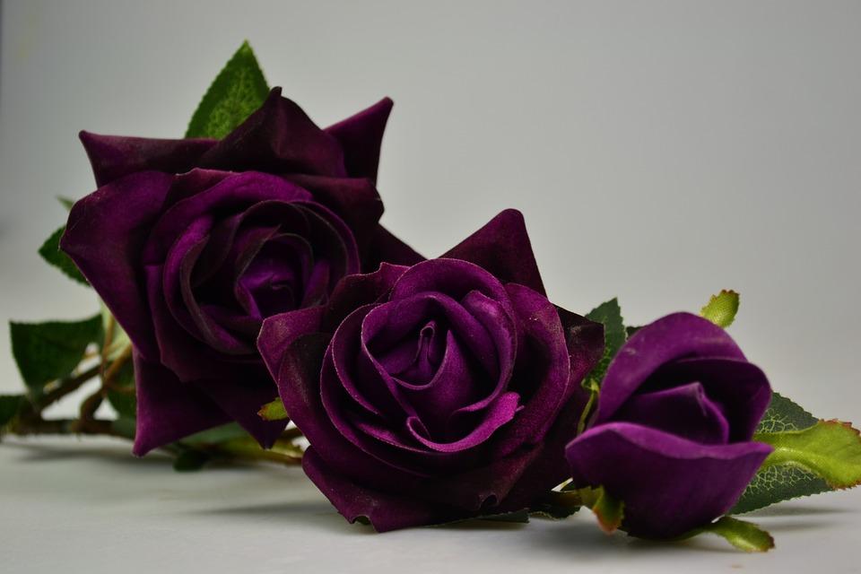 gambar mawar ungu terindah