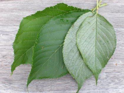 Frunzele Moringa & Pierdere în Greutate / Mancare si bautura | Sport, fitness, sănătate și dietă!