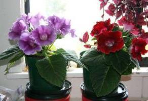 Уход за глоксинией осенью подготовка к зиме