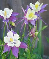 Все тонкости выращивания аквилегии в своем саду