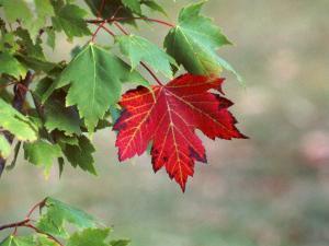 juhar levelek közös kezelés)