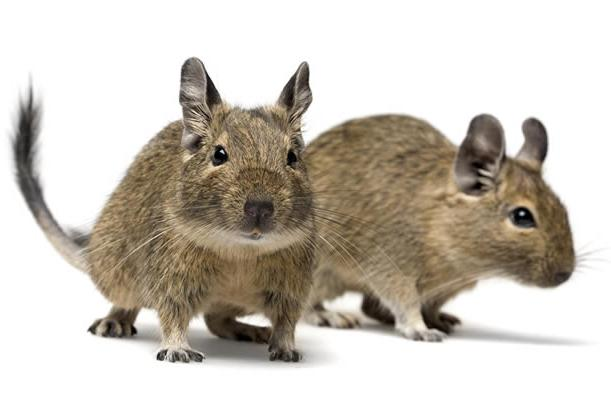 Laboratórne potkany datovania