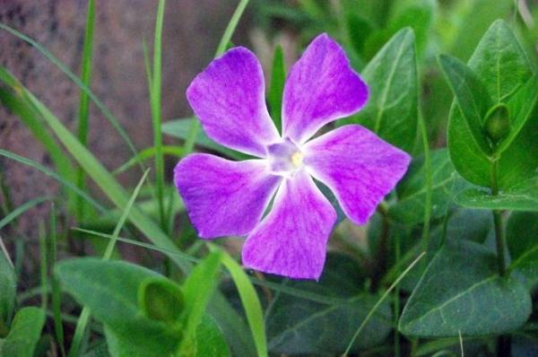 Цветок барвинок: фото, описание, посадка и уход