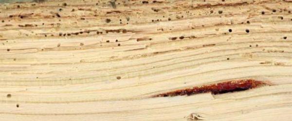 Древесный клоп, или щитник зеленый древесный: как выглядит ...