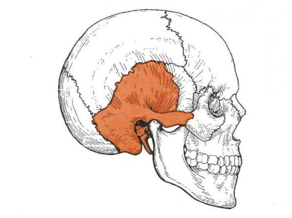 Каналы височной кости. Анатомия: височная кость