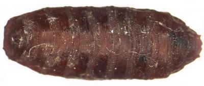 Какую работу трупные черви выполняют в природе?
