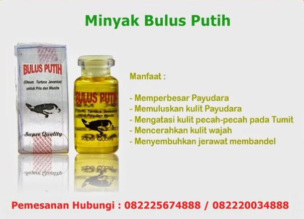 khasiat minyak bulus putih