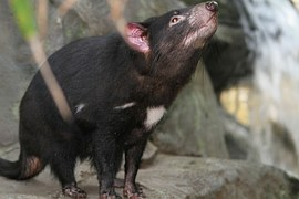 Tasmanian devils: Running out of time