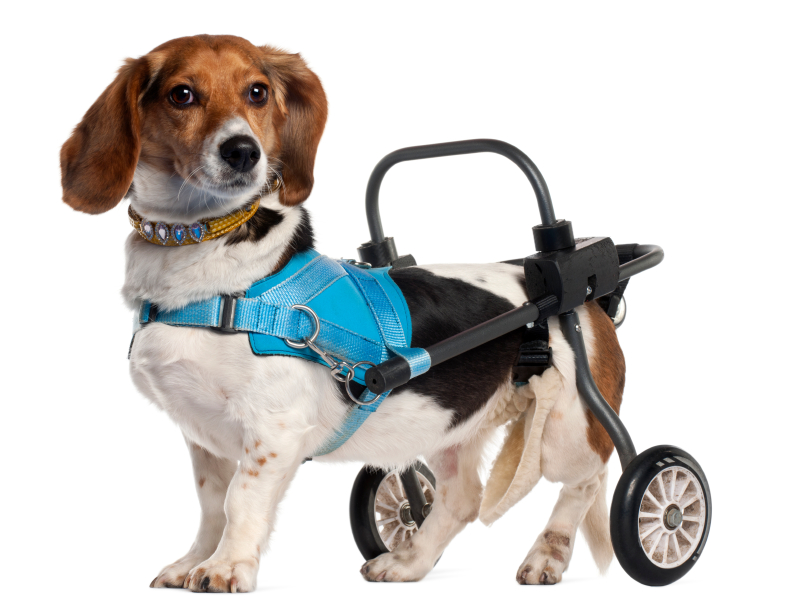 Paraplegic Dogs Getting Treatment and Helping Humans