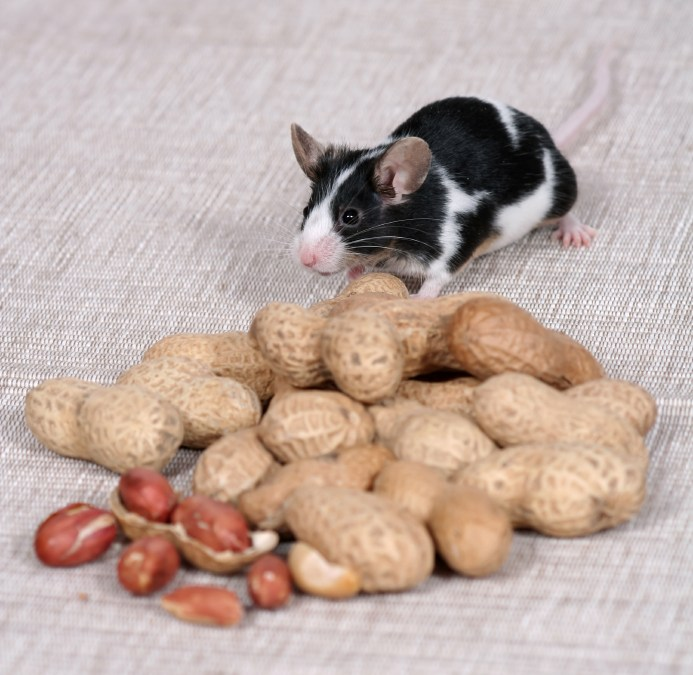 How mice are helping fight food allergy