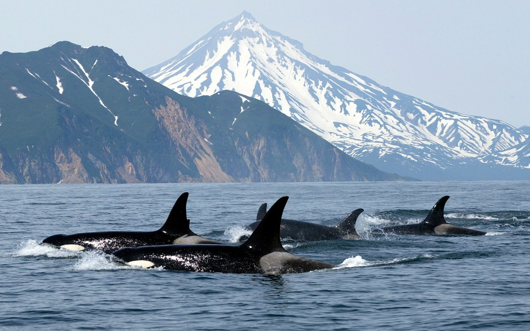 Orcas: Menopausal females lead the way to food