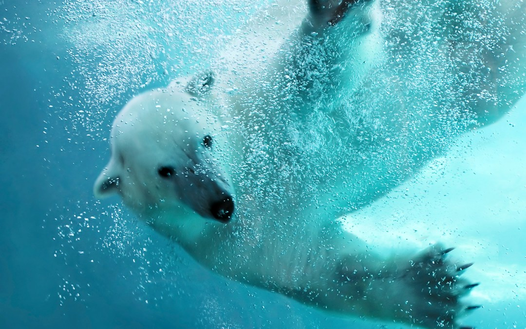 Zoo polar bears are helping wild polar bears!
