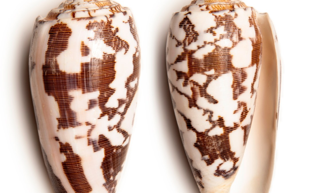 Cone snails may provide hope to chronic pain sufferers
