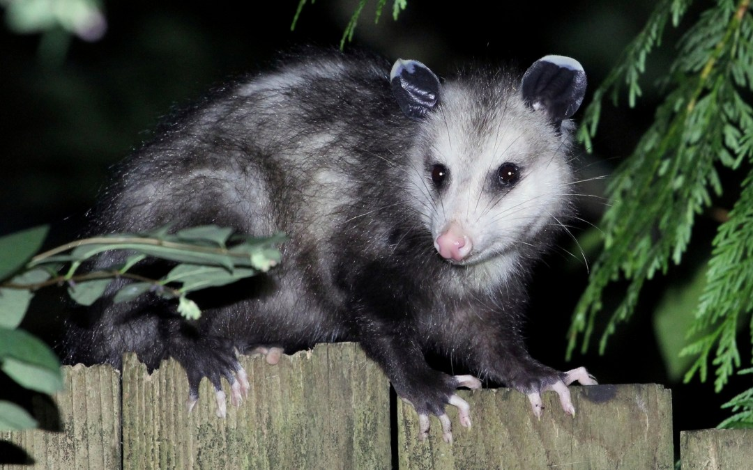 Opossums may hold the key to a new snake anti-venom