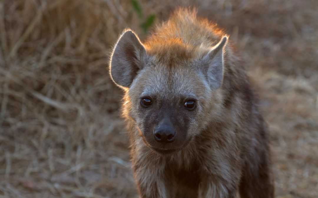 Hyenas get stressed out, too!