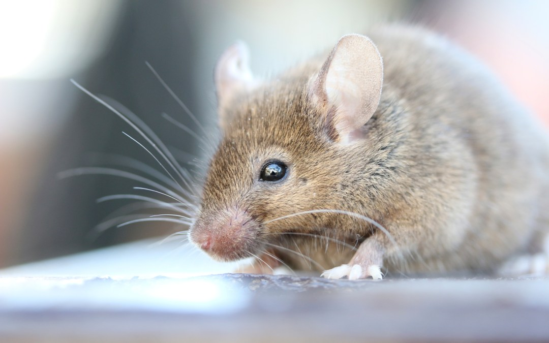 Mice providing clues to the dangers of space travel