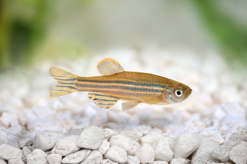 Zebrafish: The New Hero in Biomedical Research!