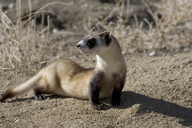 Black-footed ferrets: Saving an endangered species with peanut butter?