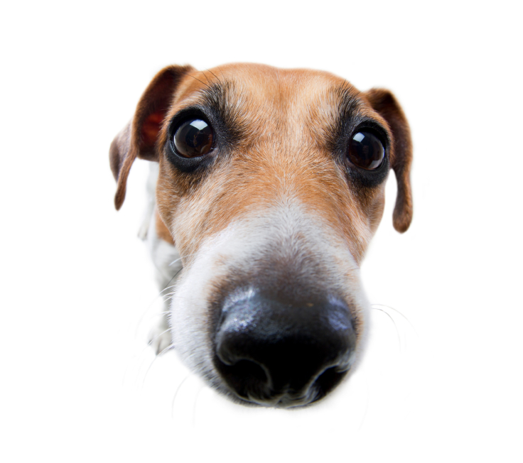 Dogs Have 'Face Recognition' Area of the Brain