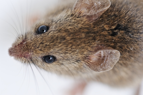 TBI: Mouse Models Helping to Find Answers