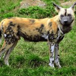 African wild dogs are an example of an endangered canid.