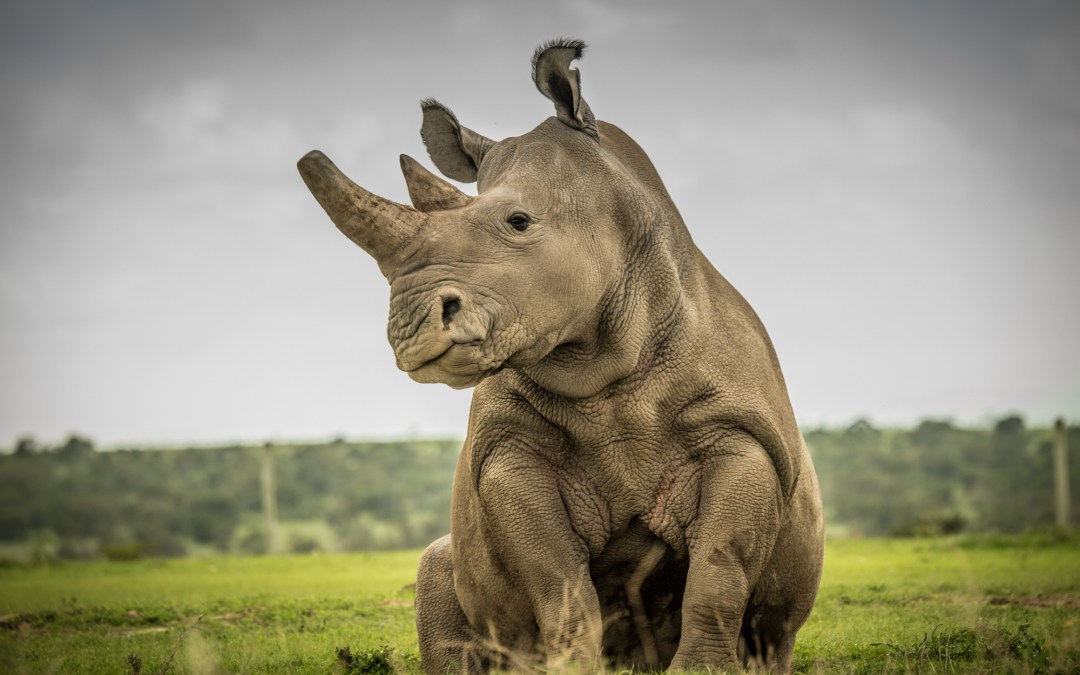 Animal Testing Offers Hope for Endangered Northern White Rhino