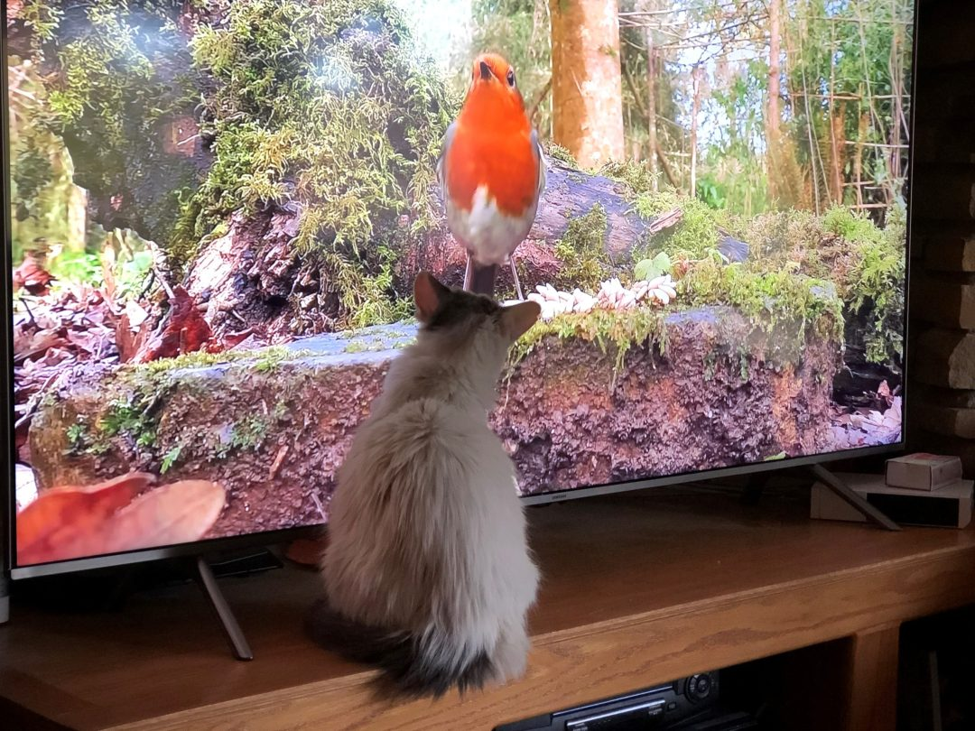 After Spunky recovered from TECA-BO surgery, he loved to watch his favorite show, birds on TV. (Photo: Gary Borkowski)