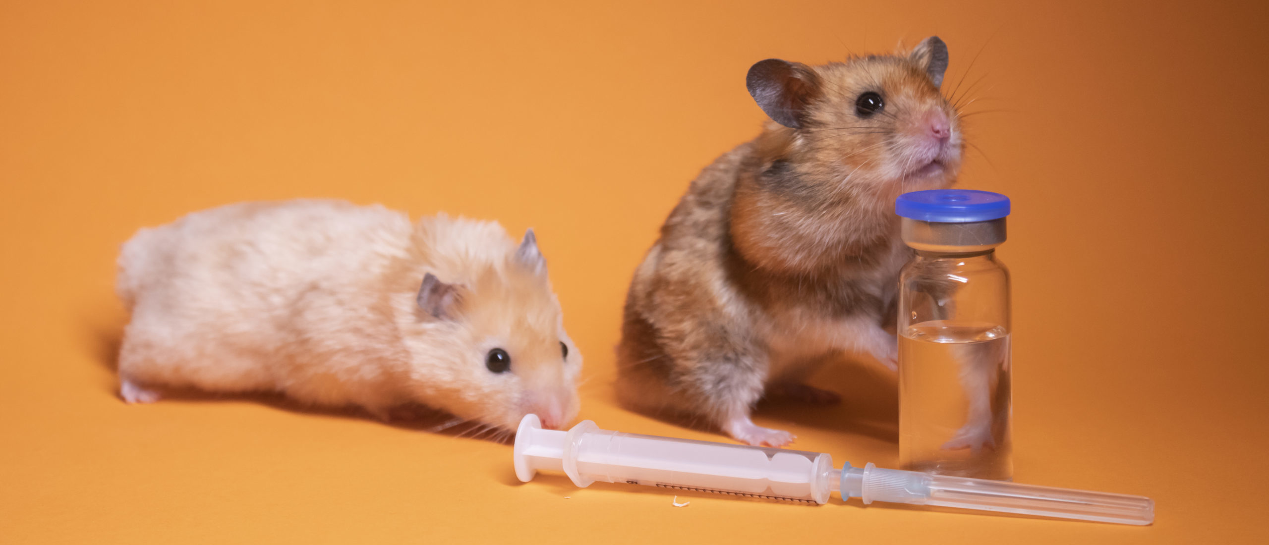 Decades of research with animals including mice, Syrian hamsters and nonhuman primates laid the groundwork for vaccines and drugs to prevent and treat COVID-19. (Photo: Olga Skred / iStock / Getty Images Plus)