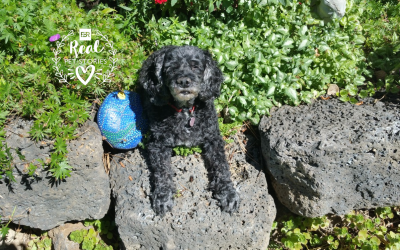 Minnie's Story: My Cockapoo No Longer Has Seizures After Taking Medication