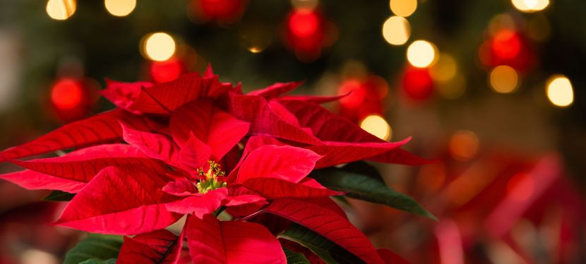 Poinsettia Orders