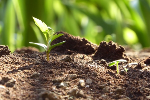 Several small green sprouts grow amidst dark brown soil.