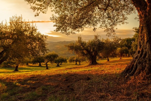 A rolling hilly field full of trees, illuminated golden in the setting sun. Image by Fabio Grandis from Pixabay.