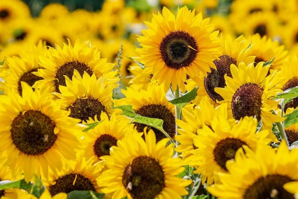 A field of bright yellow sunflowers in bloom. Image by suju-foto from Pixabay.