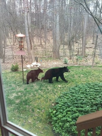 Bears in yard