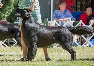 Flat-Coated Retriever in the show ring.