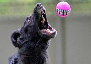 Flat-Coated Retriever catching a ball.
