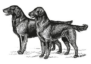 The Flat-Coated Retriever illustrated general appearance for the breed standard.