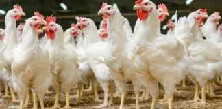 Food service first as Compass Group commit to slower growing chickens