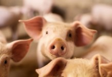 Defra mulls ban on live animal exports