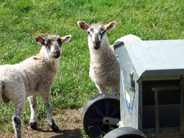British lamb back on the menu in Saudi Arabia