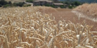 Mondelēz expands sustainable wheat program
