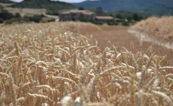 Mondelēz expands sustainable wheat program