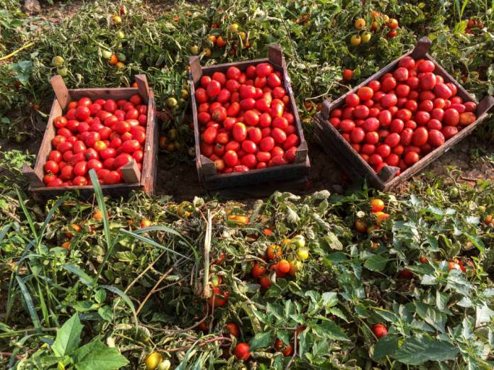 Non-GMO project verification for Lycored's tomato extract blend