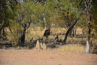 Emu & her chicks