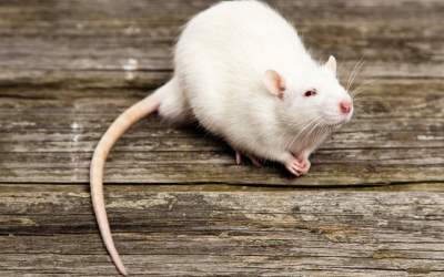 What Do Rats Have to Do With Living Alone?
