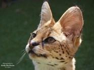 serval-cat-photograph-by-feather-and-fur